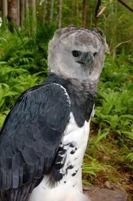 Panama Harpy 15