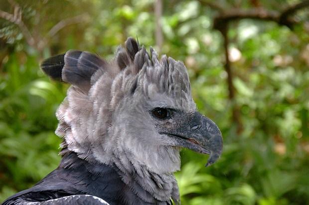 Panama Harpy 16