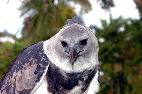 Panama Harpy 3