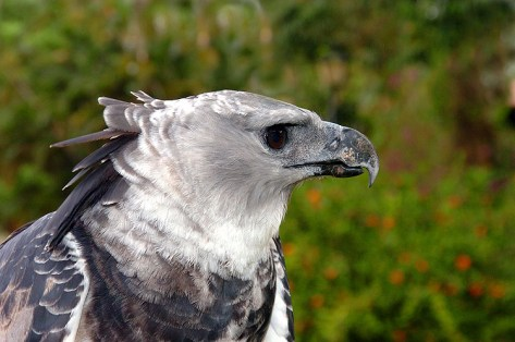 Panama Harpy 4