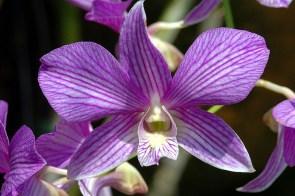 Panama Orchid 7