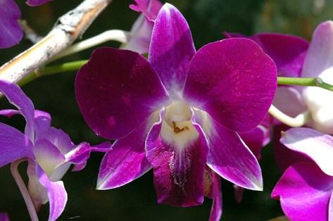 Panama Orchid 8