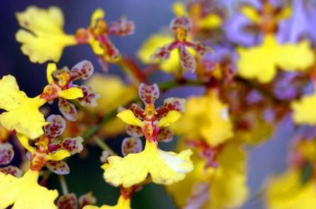 Panama Orchid