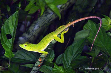 Iguana verde joven