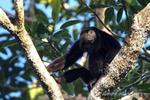 Mono aullador - cotos, araguatos o carayás (Alouatta)
