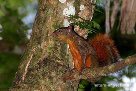 Ardilla de cola roja (Sciurus granatensis)
