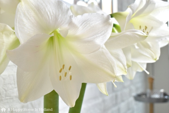 How to care for your amaryllis plant after it has finished blooming