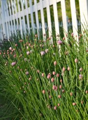 Oh The Beautiful Chives Growing at www.ahealthylifeforme.com