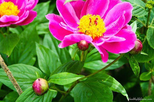 Peony Bloom | Peonies; A Love Affair | aheahtlylifeforme.com