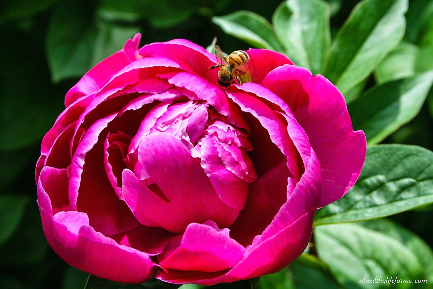 Pianese Flowers Peonies A Love Affair A Healthy Life For Me