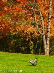 Silver Wyandotte in Fall