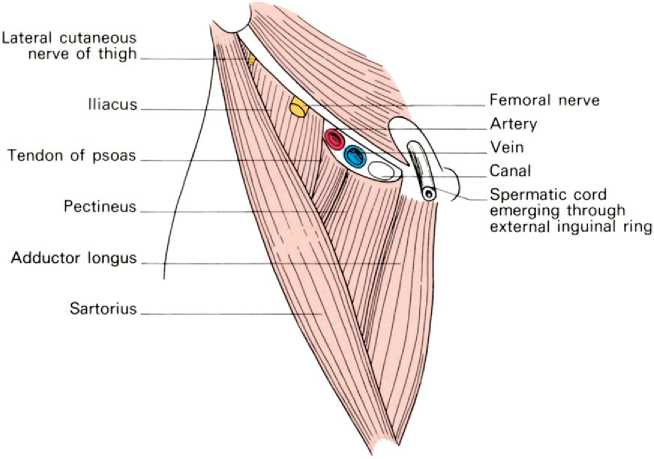 The bones and joints of the lower limb - femoral triangle