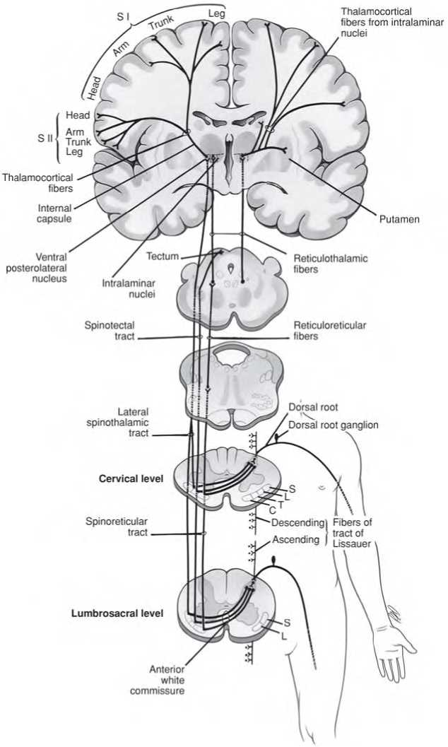 PATHWAYS FROM THE BODY, LIMBS, AND BACK OF HEAD - spinothalamic tract