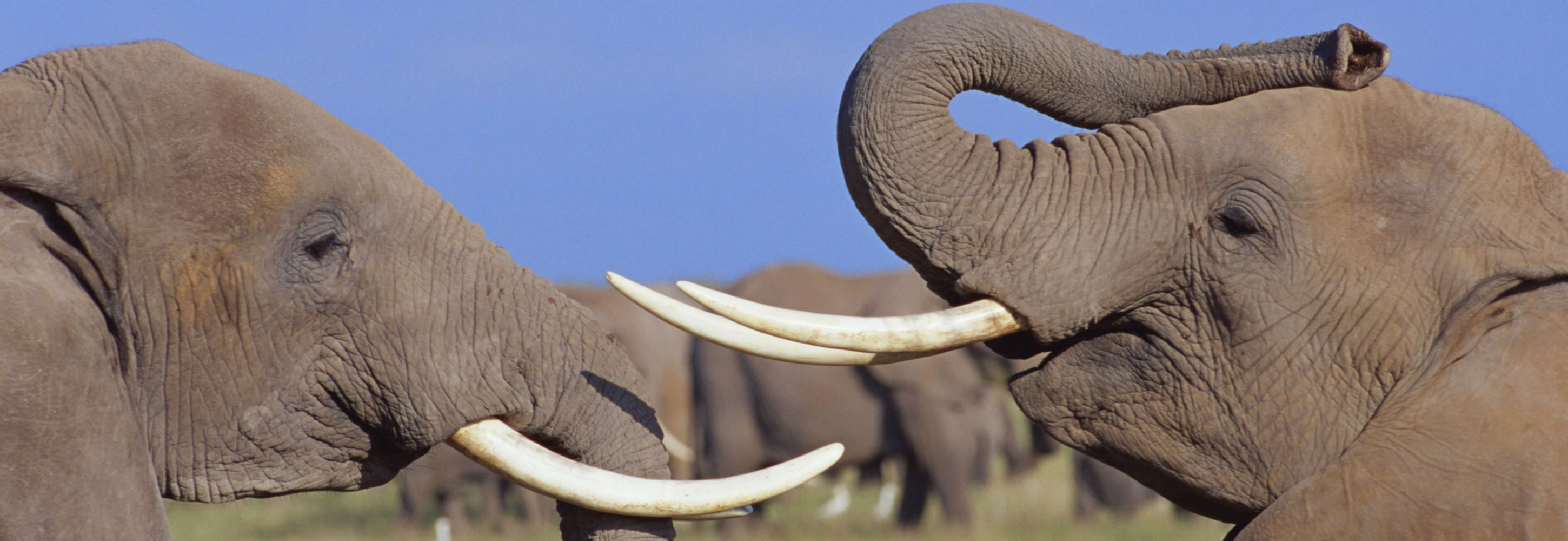 003-elephants-fight-amboseli