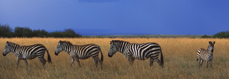 005-zebra-masai-mara