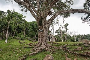 Kindah Tree in Accompong Town.