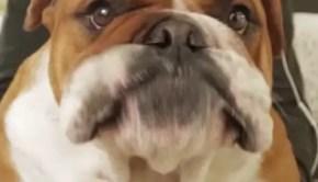 Banjoe the Bulldog copy