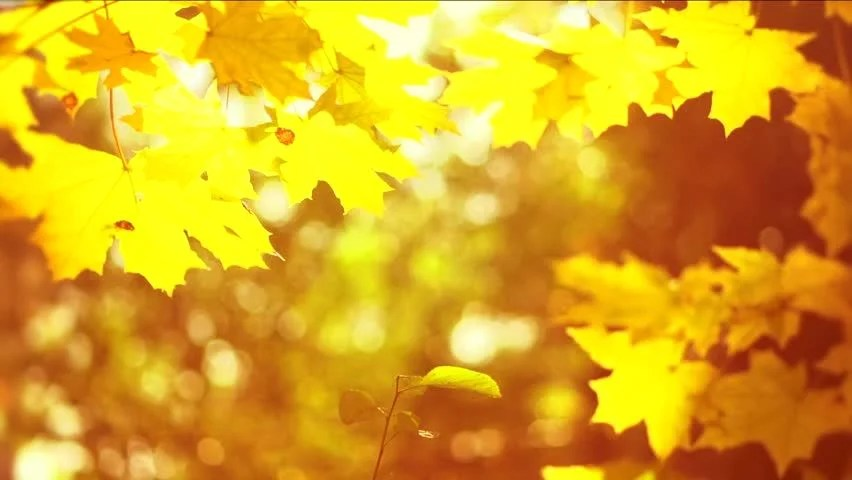 Maple Leaf Wallpaper For Fall Season Autumn Scene Falling Autumn Leaves Over Yellow Blurred