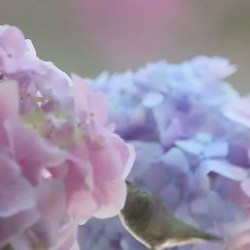 Backyard Hummingbird Feeds in Pink and Blue Flowers Stock Footage
