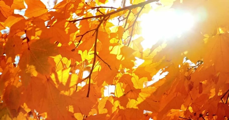 Falling Leaves Animated Wallpaper Sun Shining Through Fall Leaves Blowing In Breeze Slow