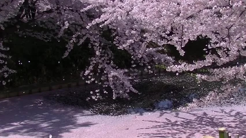 Cherry Blossom Blowing in Wind Free Stock Video Footage Download - cherry blossom animated