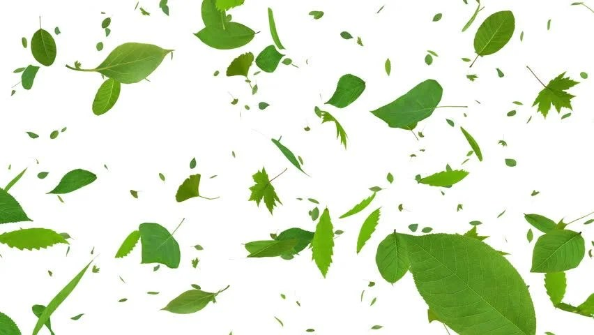 Drop Of Water Falling From A Leaf Dark Background Wallpaper Flying Leaves In Looped Animation Hd 1080 Alpha Mask