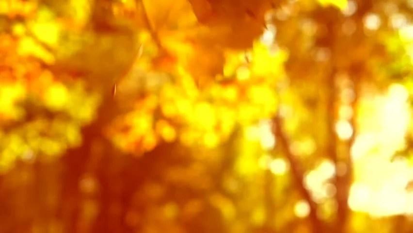 Autumn Tree Leaf Fall Animated Wallpaper Autumn Falling Autumn Leaves Over Stock Footage Video
