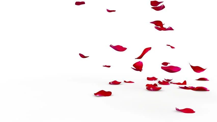 Rose Petals Falling Wallpaper Transparent Gif Rose Petals Isolated Stock Footage Video Shutterstock