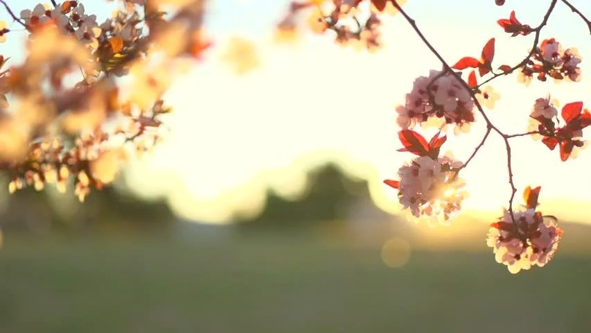 Early Fall Hd Wallpaper Spring Blossom Background Beautiful Nature Scene With