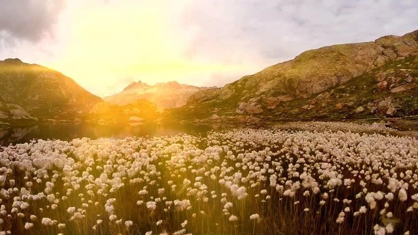 Free Hd Flower Wallpaper White Cotton Flower Field In Stock Footage Video 100