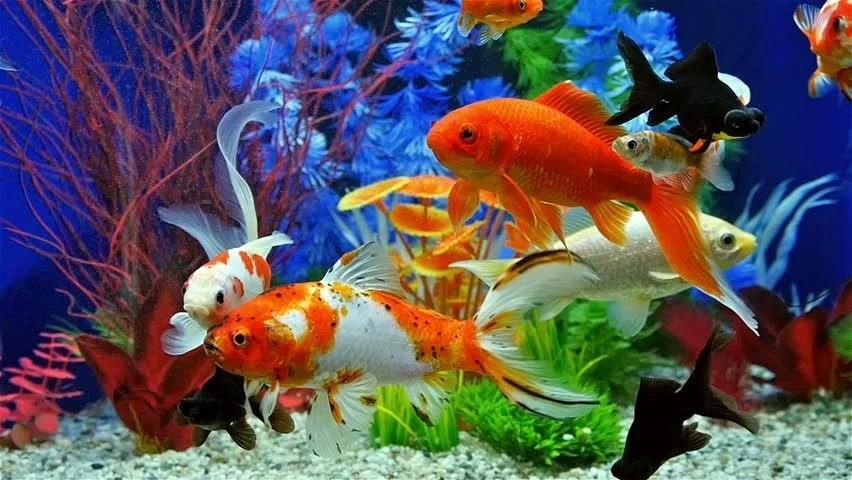 Animated Aquarium Wallpaper For Windows 8 Aquarium With Goldfish Stock Footage Video 404026