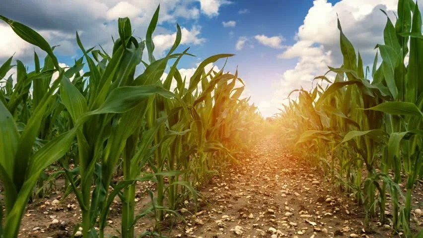 Fall Mountains In The Sun Wallpaper Stock Video Of Walking In Corn Field On Sunny 18267988