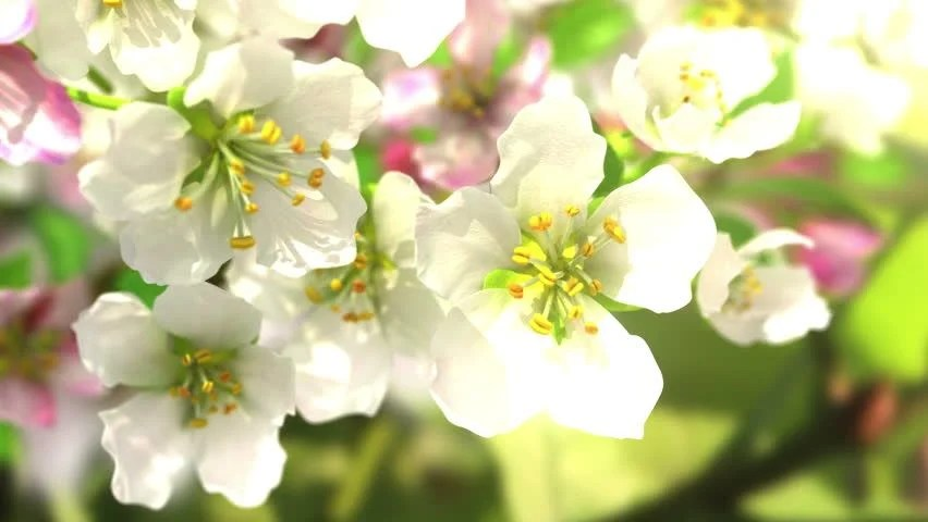 Blossom Free Video Clips - (185 Free Downloads) - cherry blossom animated