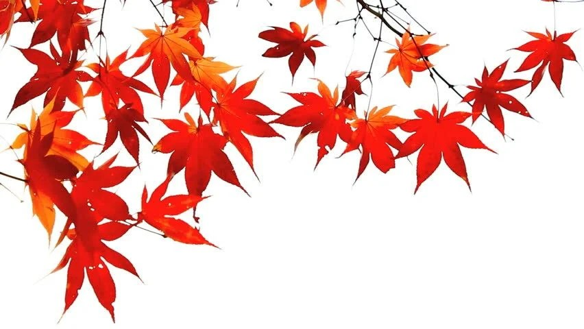 Falling Leaves Wallpaper Animated Autumn Red Maple Leaves Swaying Stock Footage Video
