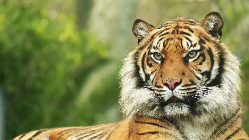 Angry Lion Wallpaper Hd 1080p The Bengal Tiger Also Called Stock Footage Video 100