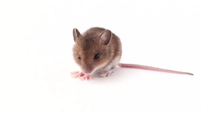 Cute Little Mouse On a Stock Footage Video (100 Royalty-free