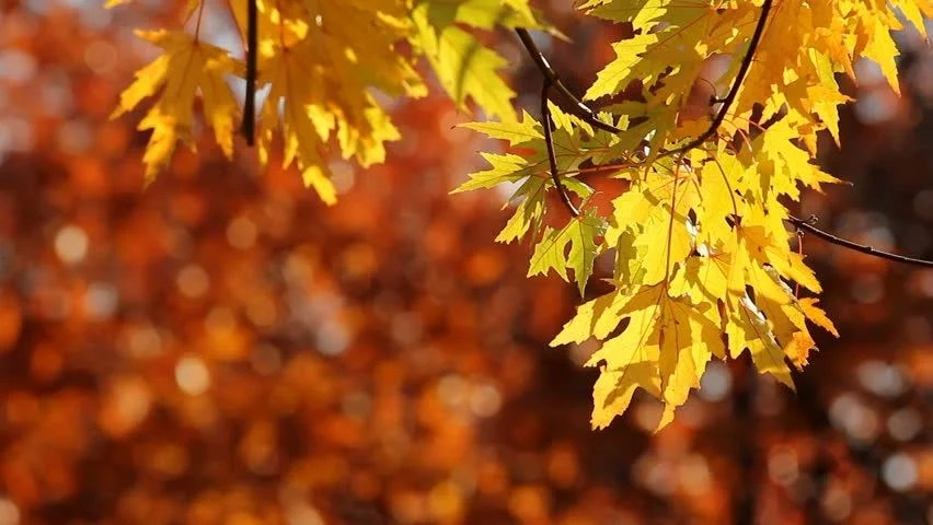 Free Animated Fall Wallpaper Yellow Maple Tree Leaves In Stock Footage Video 100