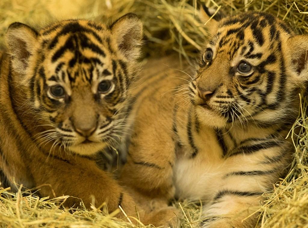 Cute Baby Girl Wallpaper Full Hd Tiger Gives Birth To Cubs At Disney S Animal Kingdom E News