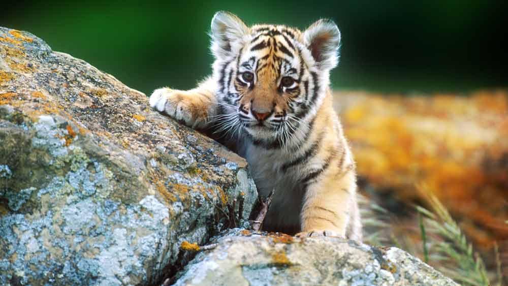 Cute Lion Cubs Hd Wallpapers Harimau Anak Lucu Alamendah S Blog