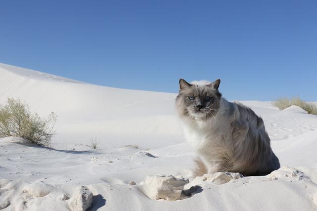 Desert Cat 3