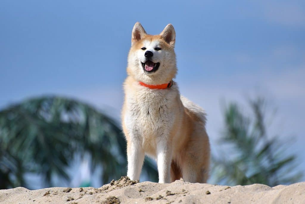 Nifty Are Known To Be Extremely Doting Making M Addition To A Akita Breeds Are Extremely Intelligent Whichshould Guard Dogs Home Security Breeds bark post Loyal Dog Breeds