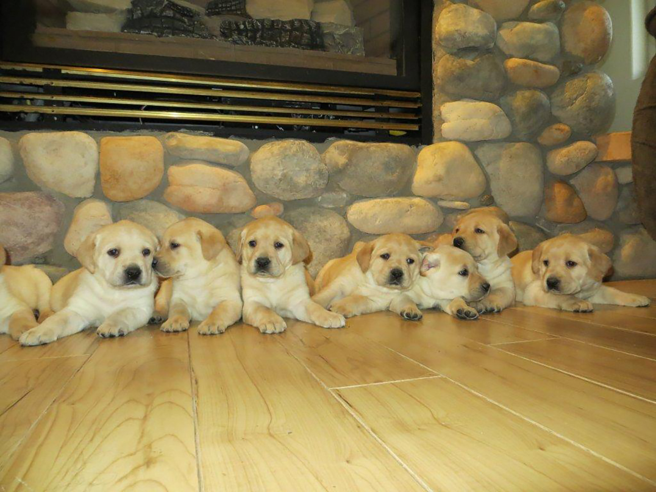 Yellow Lab Dogs For Sale Welcome
