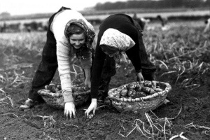 Young girls picking potatoes - Scotland