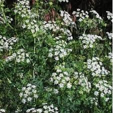 Poison Hemlock (Deadly)