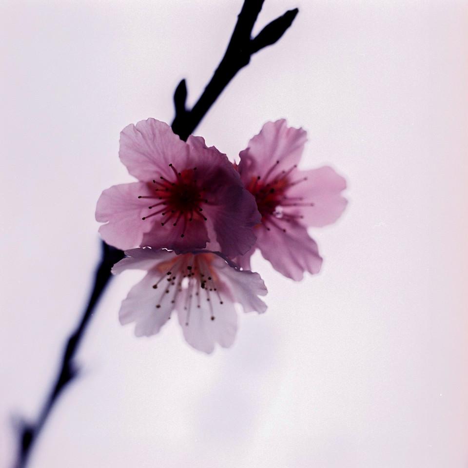 Last of the sakura - 2015-05-05 -   Fuji Pro 400H shot at EI 200.  Color negative film in 120 format shot as 6x6.  2x Teleconverter.