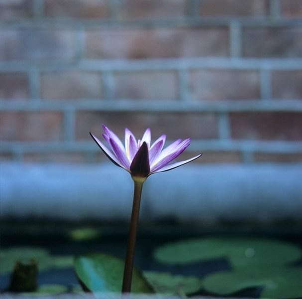 Lotus - 2015-06-25 - Fuji Provia 100F (RDP III) shot at EI 100. Color reversal (slide) film in 120 format shot as 6x6.
