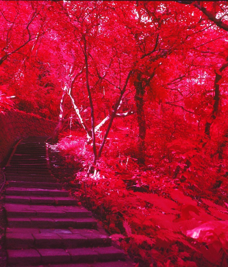 Crimson woods - Kodak AEROCHROME III Infrared Film 1443 shot at EI 200. Color infrared aerial surveillance film in 120 format shot as 6x6. Overexposed one stop with orange filter.