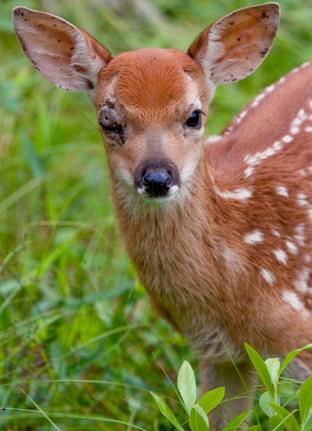 Long Island fawn with ticks in eye calverton NY, courtesy Clifford Dayton