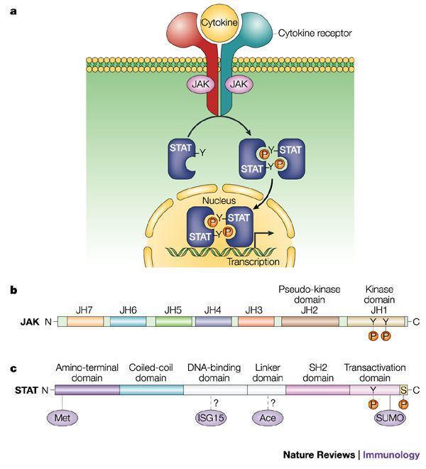 Janus kinase - Alchetron, The Free Social Encyclopedia