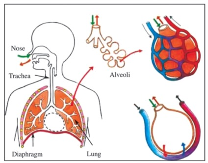 The Lungs Of The Human Body A-Level (AS/A2) Biology Revision Notes